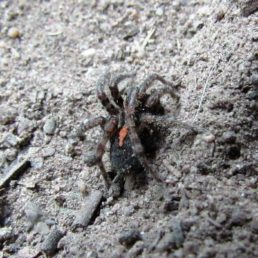 Featured spider picture of Arctosa alpigena