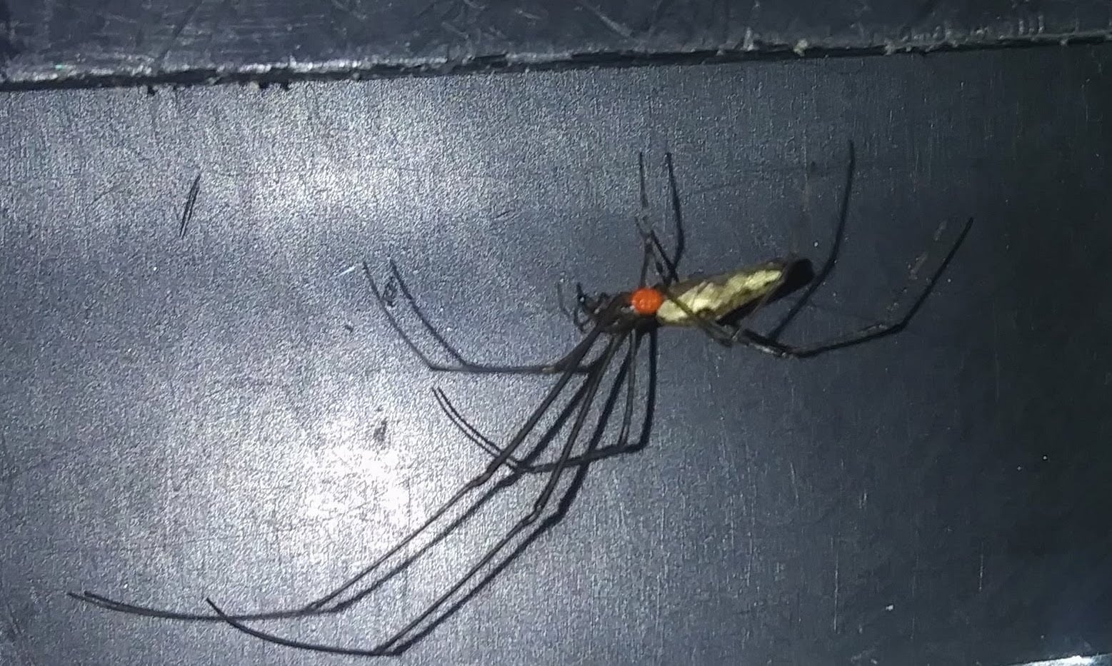 Picture of Tetragnatha - Lateral,Parasite
