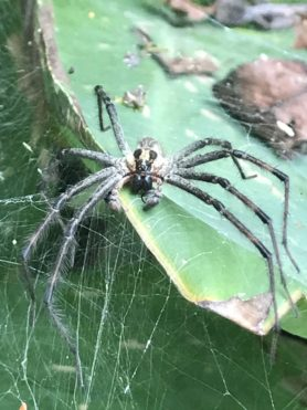 Picture of Agelenopsis spp. (Grass Spiders) - Male