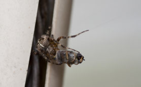 Picture of Araneus diadematus (Cross Orb-weaver) - Male - Eyes,Prey