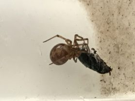 Picture of Steatoda triangulosa (Triangulate Cobweb Spider) - Dorsal,Prey