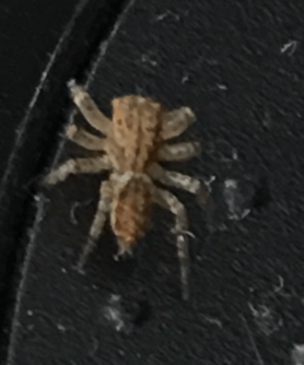 Picture of Maevia inclemens (Dimorphic Jumper)