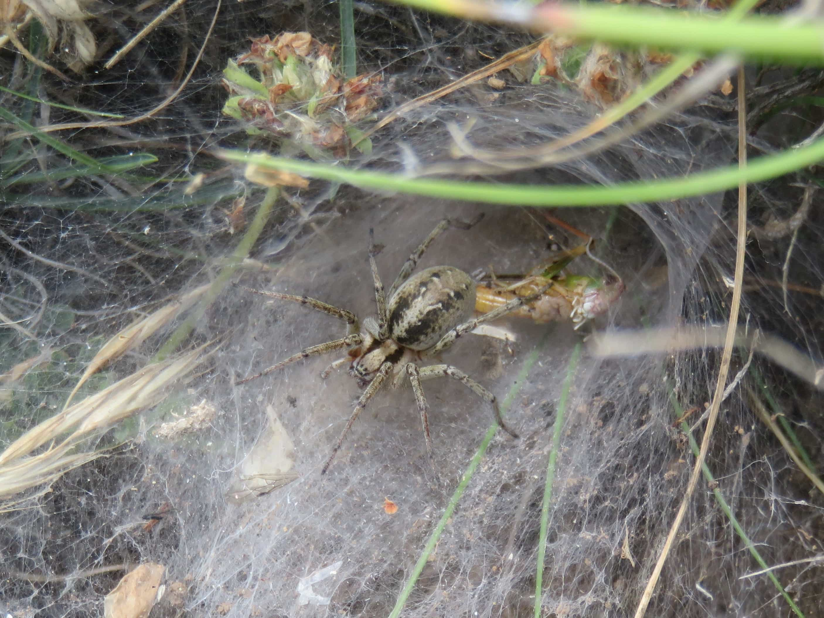 Picture of Agelena labyrinthica (Labyrinth Spider) - Dorsal,Webs