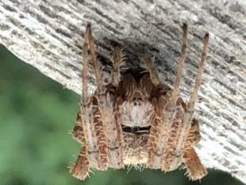 Picture of Neoscona crucifera (Hentz Orb-weaver) - Eyes