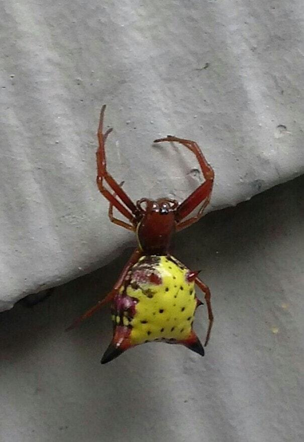 Picture of Micrathena sagittata (Arrow-shaped Micrathena) - Female - Dorsal