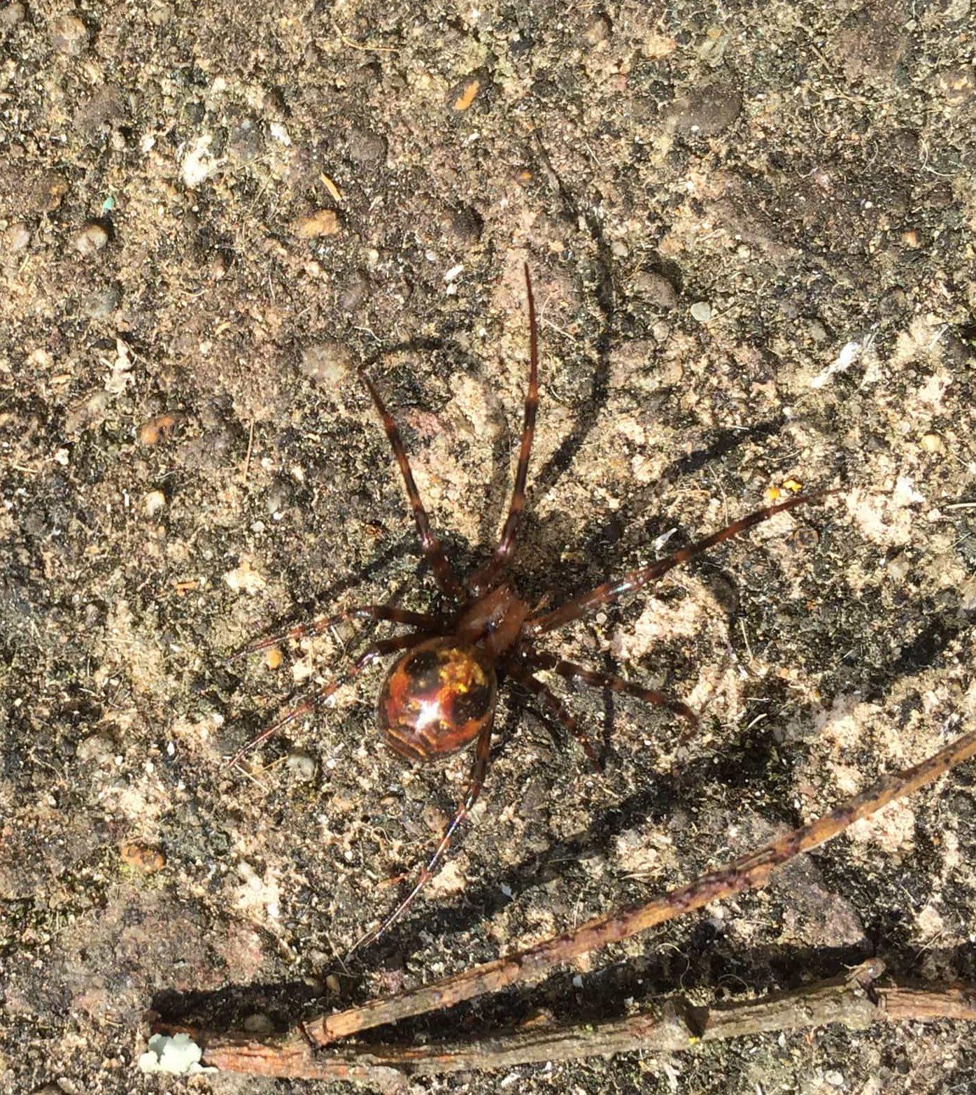Picture of Meta menardi (European Cave Spider) - Dorsal