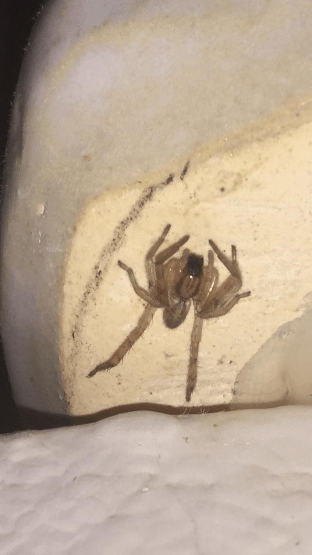 Picture of Hibana gracilis - Dorsal