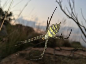 Picture of Argiope australis - Lateral