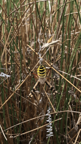 Picture of Argiope bruennichi (Wasp Spider) - Dorsal