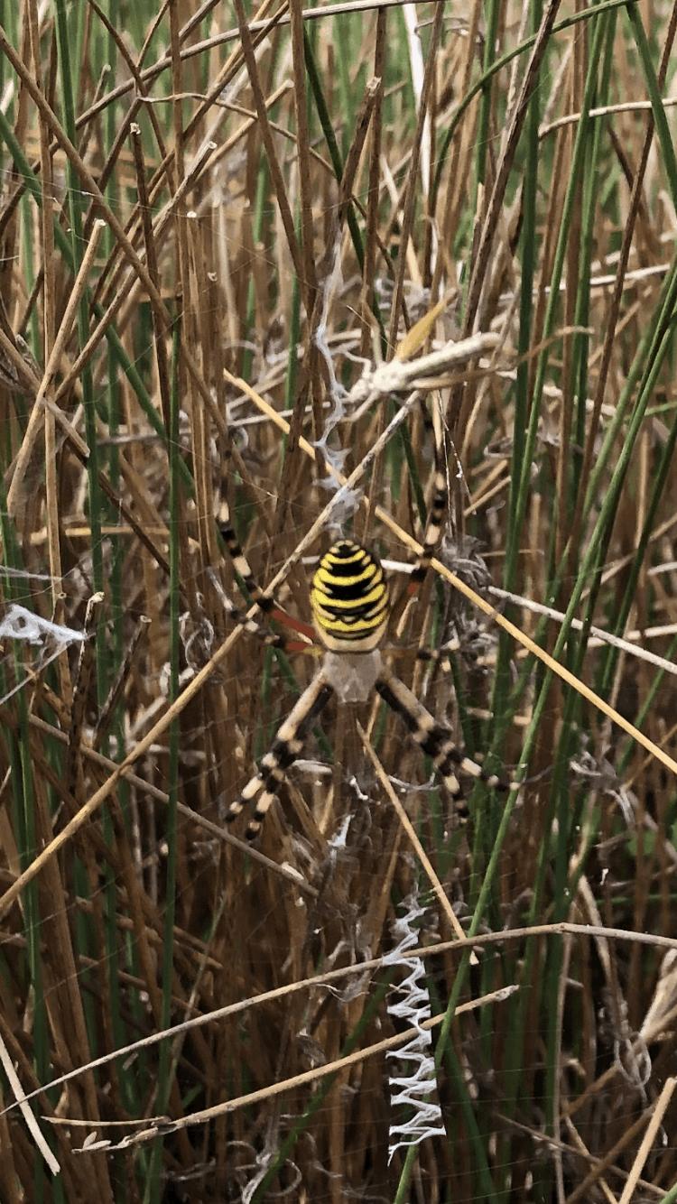 Picture of Argiope bruennichi (Wasp Spider) - Dorsal