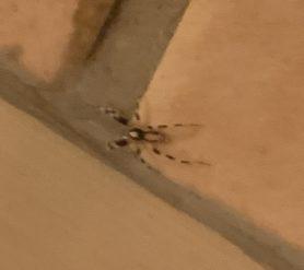 Picture of Ceryerda cursitans (Prowling Inland Spider) - Dorsal