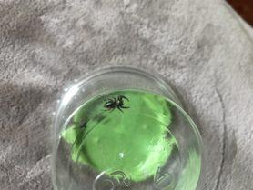 Picture of Paraphidippus aurantius (Emerald Jumping Spider) - Dorsal
