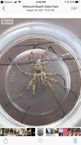 Picture of Tigrosa aspersa (Tiger Wolf Spider) - Male - Dorsal
