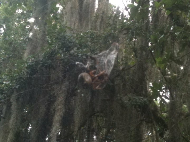 Picture of Araneidae (Orb-weavers) - Webs