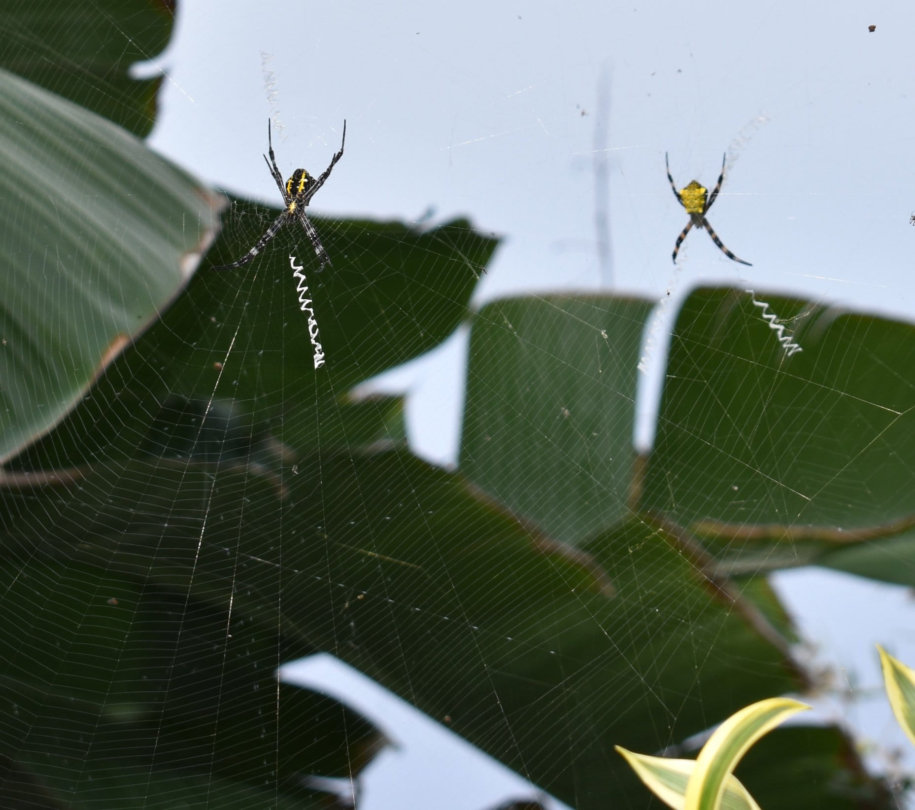 Picture of Argiope appensa (Hawaiian Garden Spider) - Dorsal,Ventral,Webs