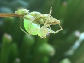 Picture of Lyssomanes viridis (Magnolia Green Jumper) - Lateral