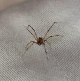Picture of Scytodes spp.