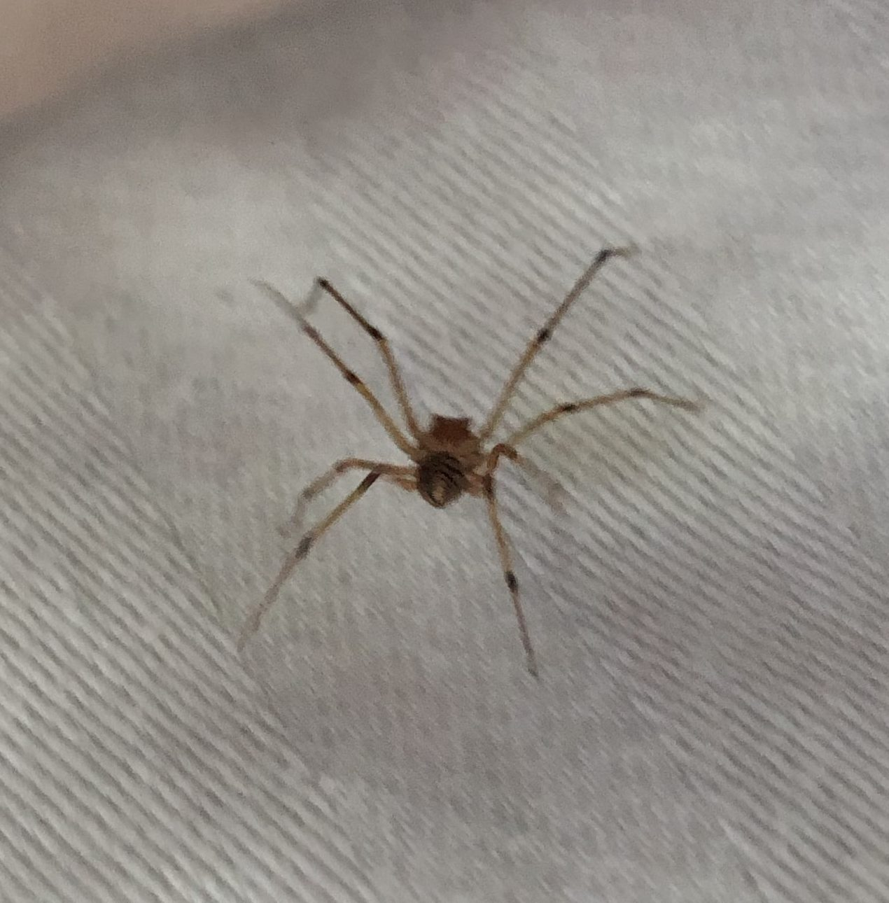 Picture of Scytodes