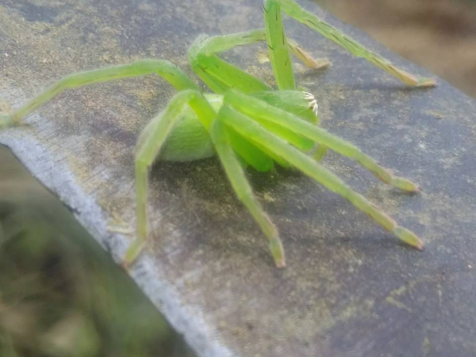 Picture of Olios milleti (Green Crab Spider) - Lateral