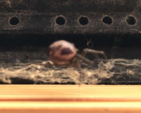 Picture of Steatoda grossa (False Black Widow)