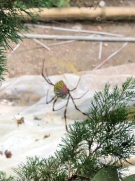 Picture of Trichonephila clavata (Joro spider)