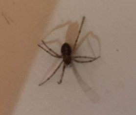 Picture of Theridiidae (Cobweb Weavers) - Dorsal