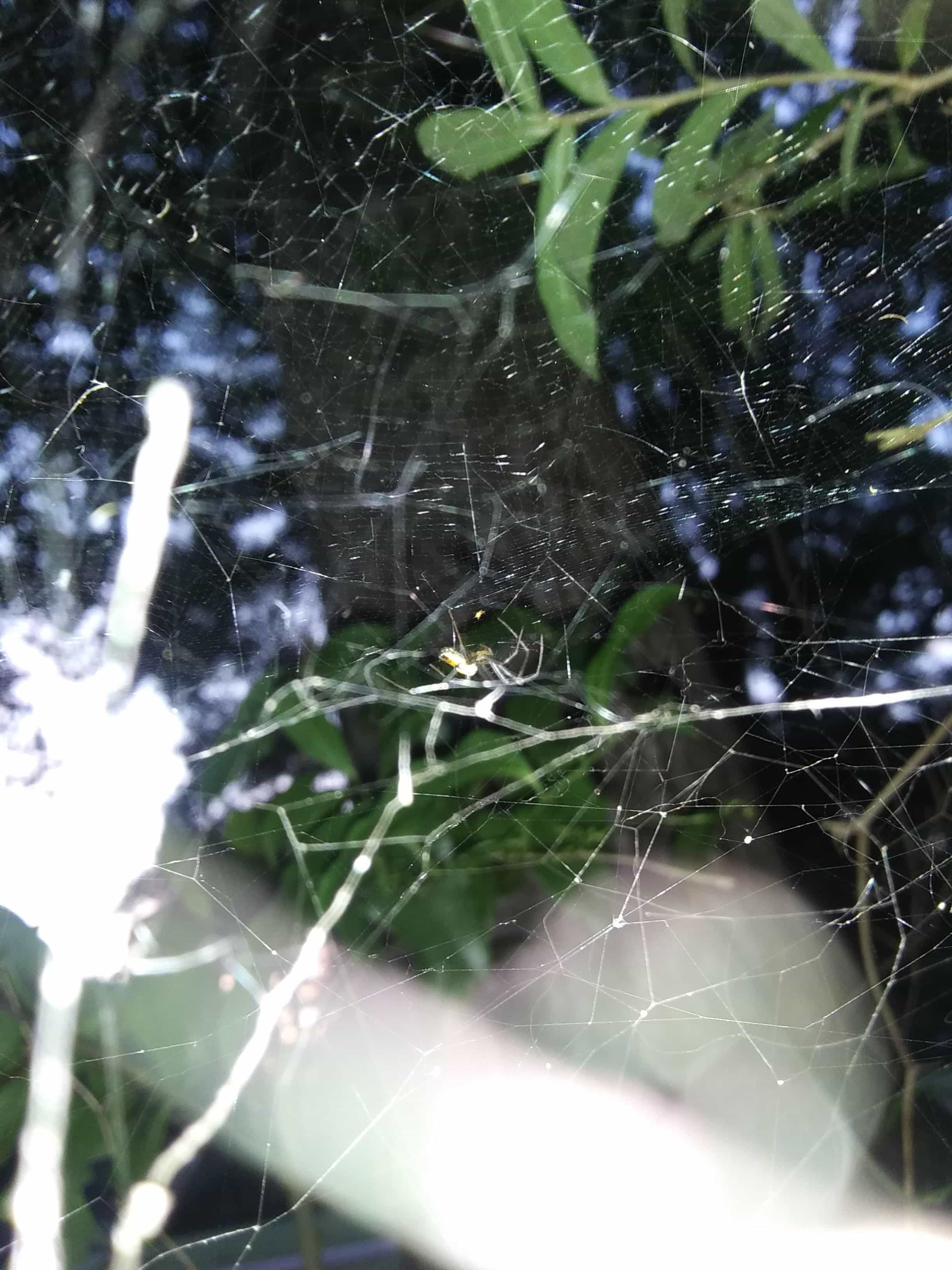 Picture of Mecynogea lemniscata (Basilica Orb-weaver) - Lateral,Webs