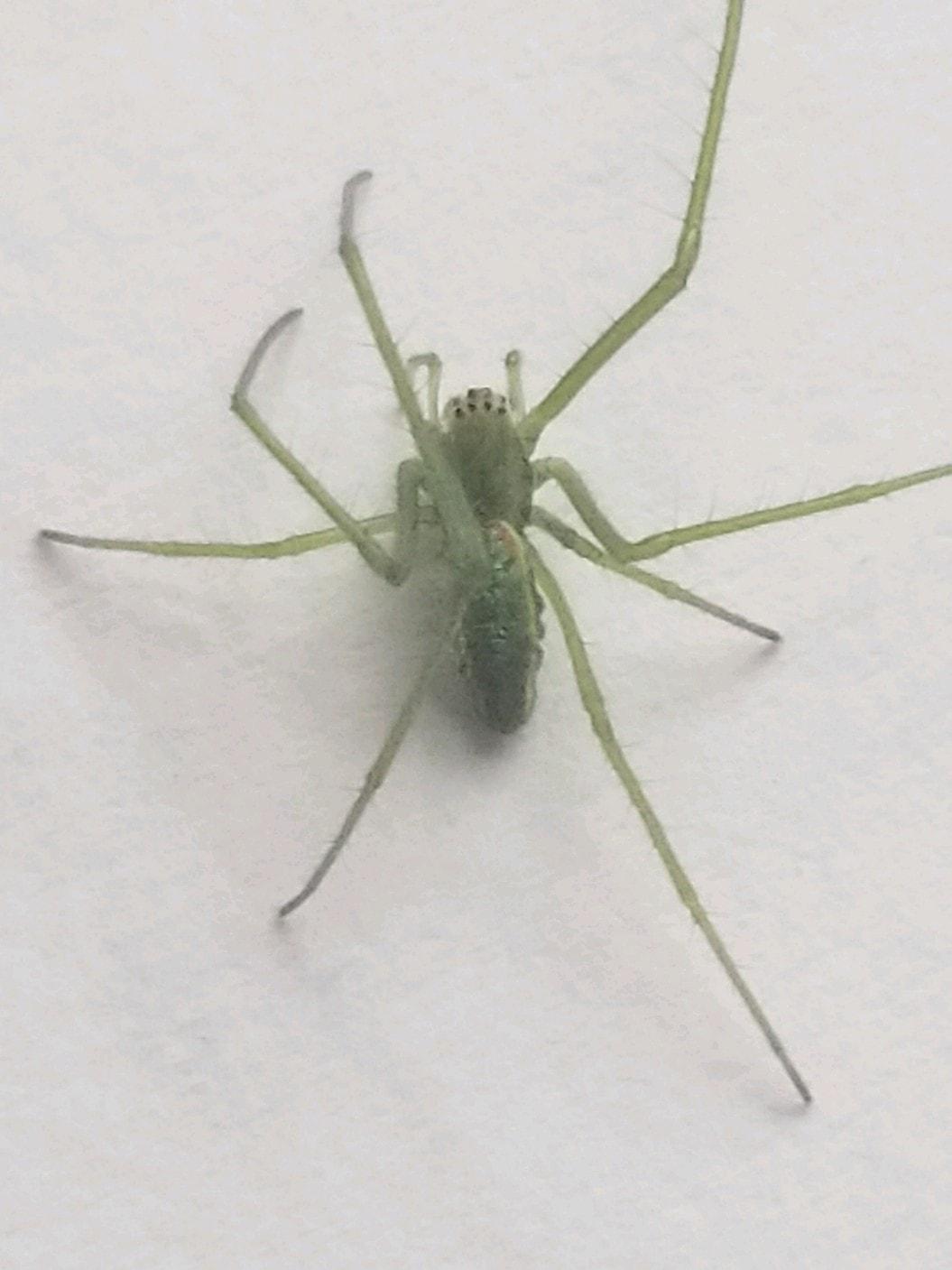 Picture of Tetragnatha viridis - Dorsal