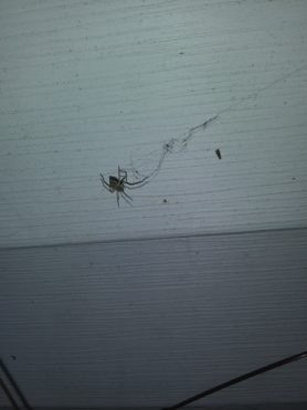 Picture of Cheiracanthium spp. (Long-legged Sac Spiders) - Ventral