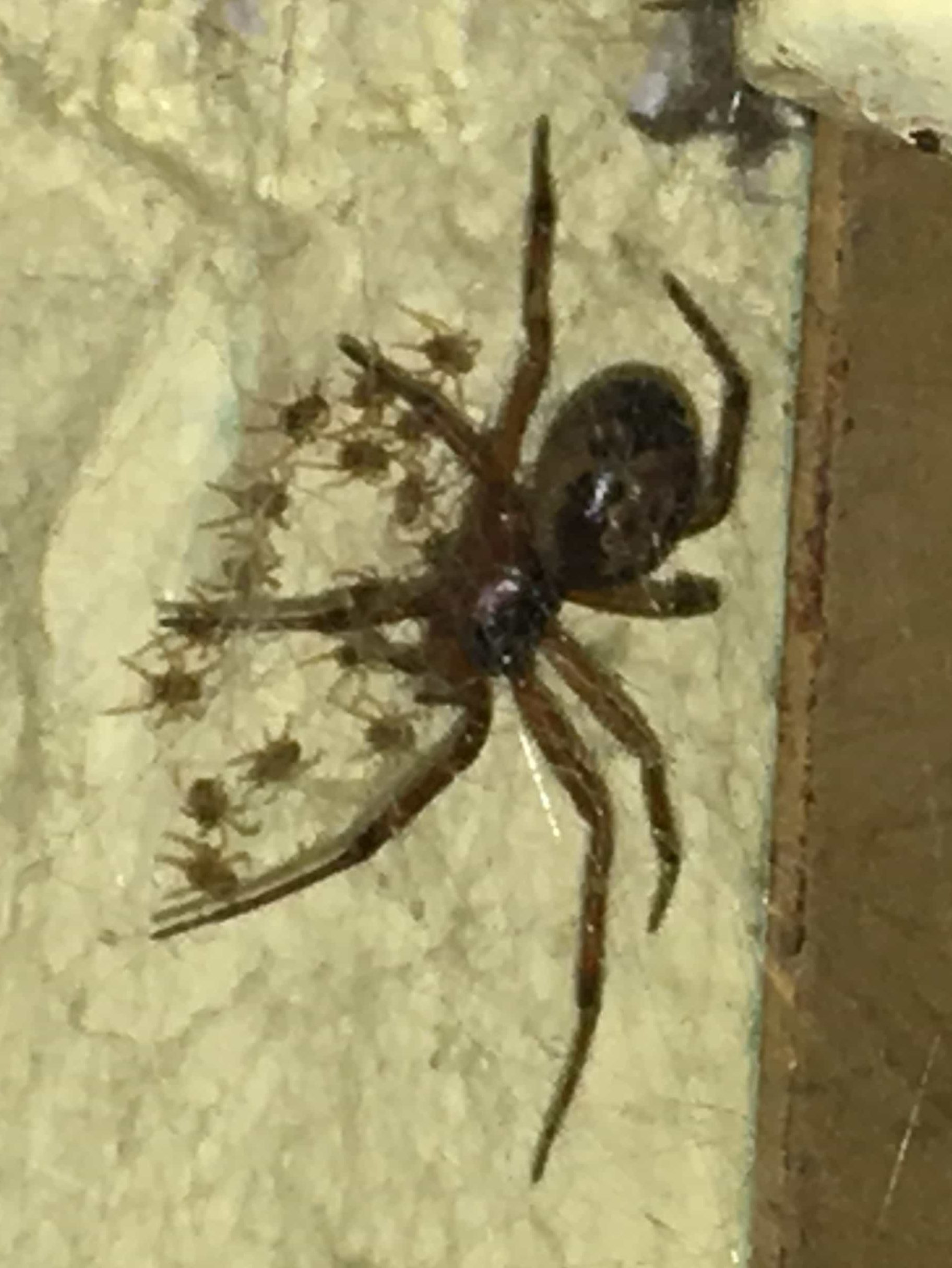 Picture of Steatoda nobilis (Noble False Widow) - Female - Lateral,Spiderlings