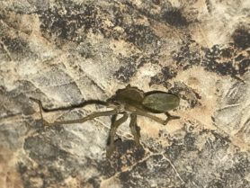Picture of Cheiracanthium mildei (Long-legged Sac Spider) - Male - Dorsal