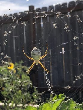 Picture of Argiope trifasciata (Banded Garden Spider) - Dorsal,Webs,Prey