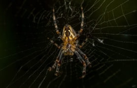 Picture of Araneus spp. (Angulate & Round-shouldered Orb-weavers) - Ventral,Webs