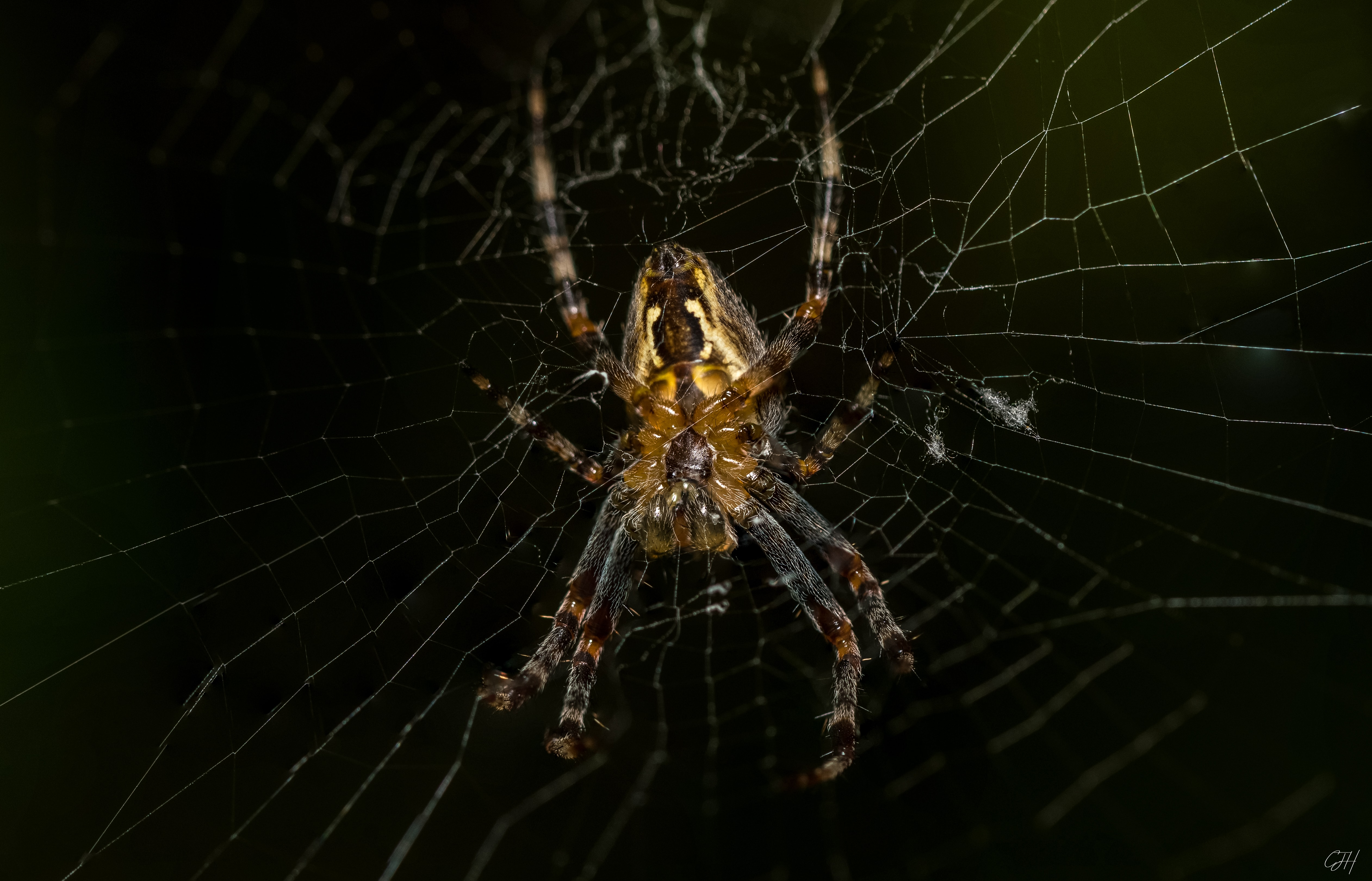 Picture of Araneus (Angulate & Round-shouldered Orb-weavers) - Ventral,Webs