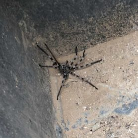 Picture of Eusparassus spp. (Stone Huntsman Spiders) - Male - Dorsal