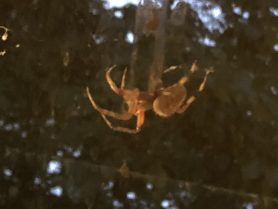 Picture of Neoscona spp. (Spotted Orb-weavers) - Lateral