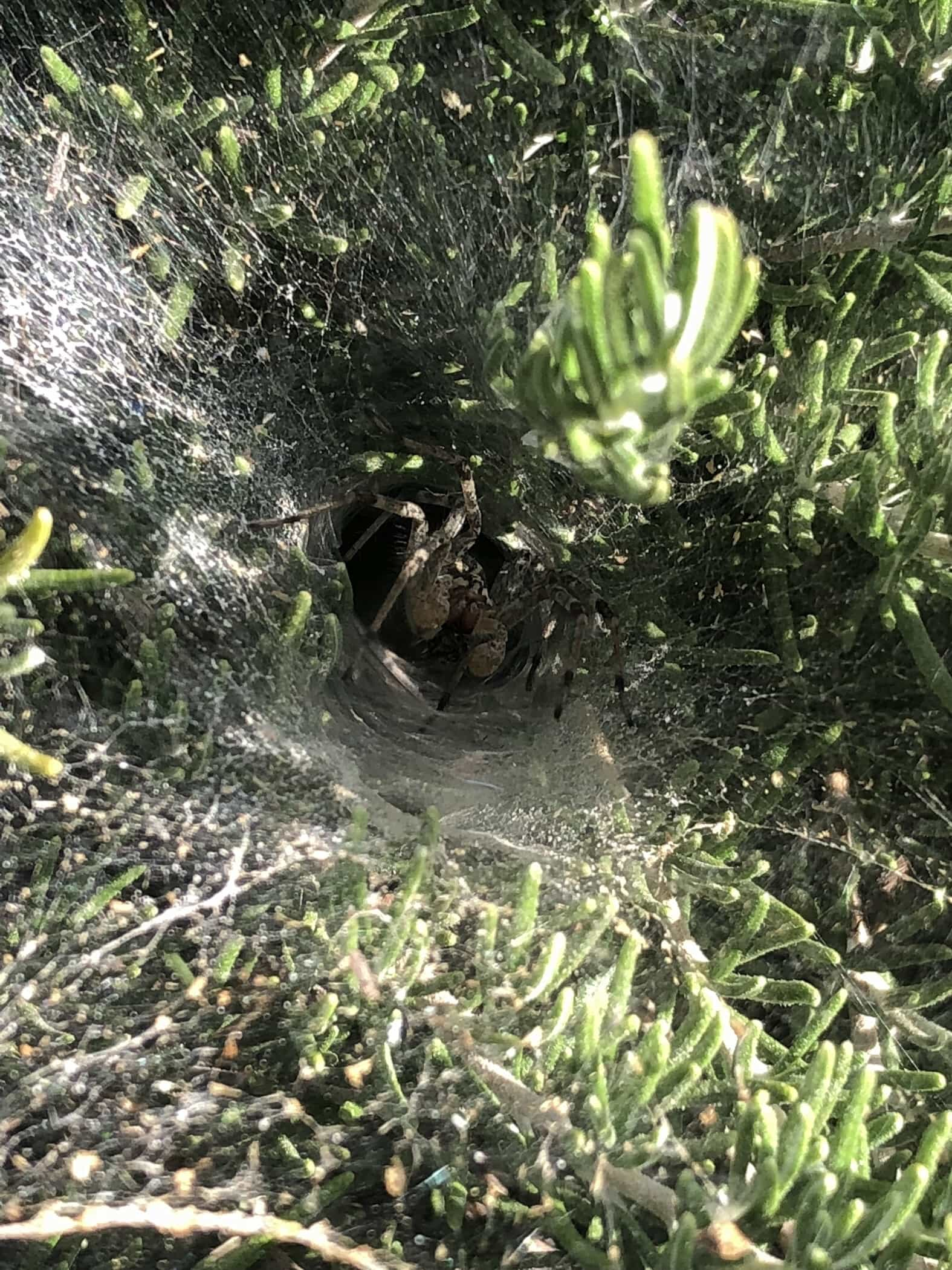 Picture of Agelenidae (Funnel Weavers) - Male - Webs,In Retreat