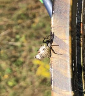 Picture of Micrathena gracilis (Spined Micrathena) - Lateral