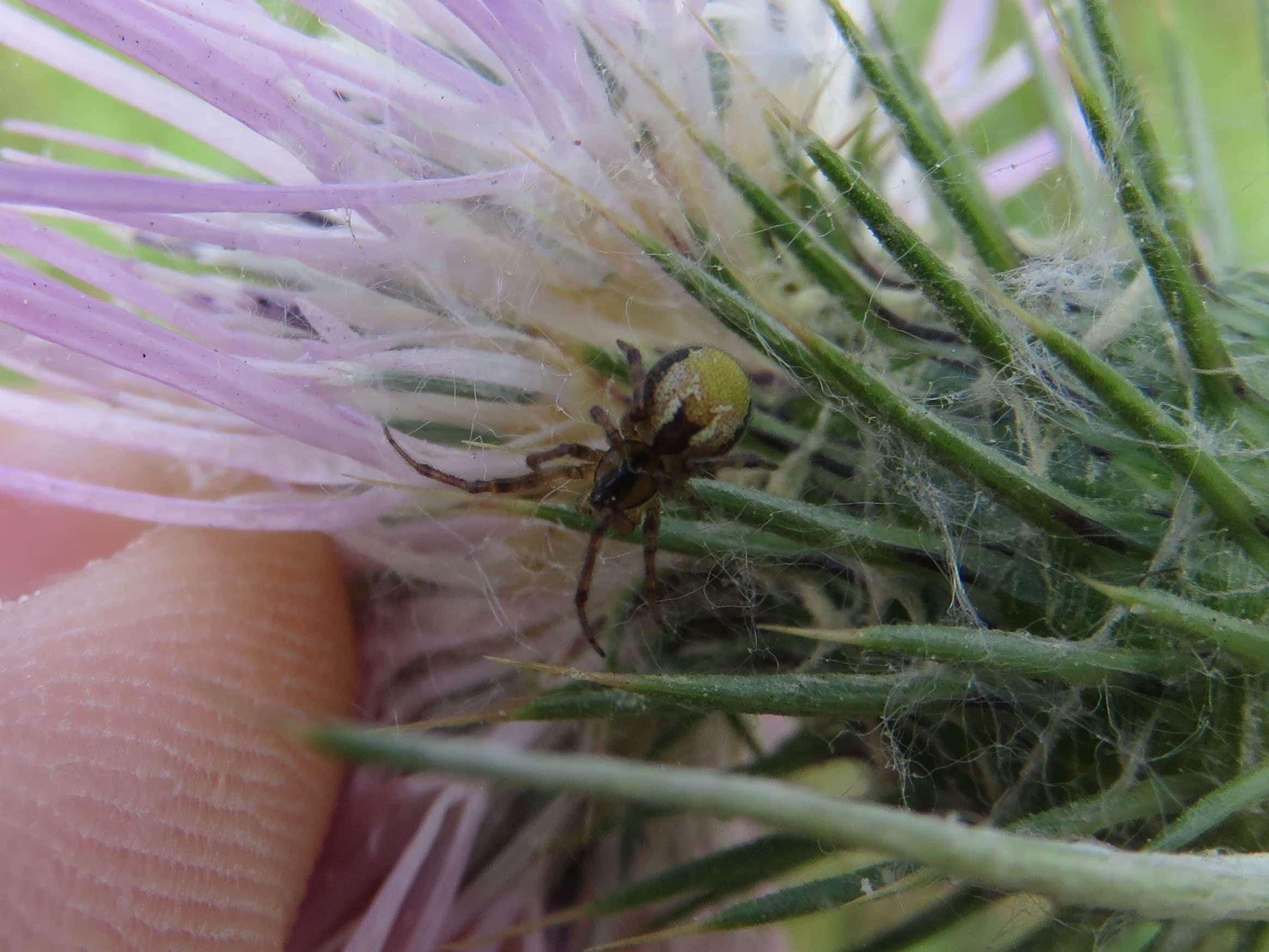 Picture of Anelosimus (Social Cobweb Spiders) - Dorsal