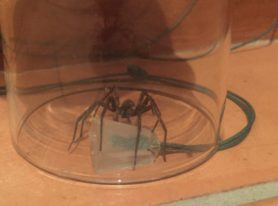 Picture of Uliodon spp. (Vagrant Spiders)
