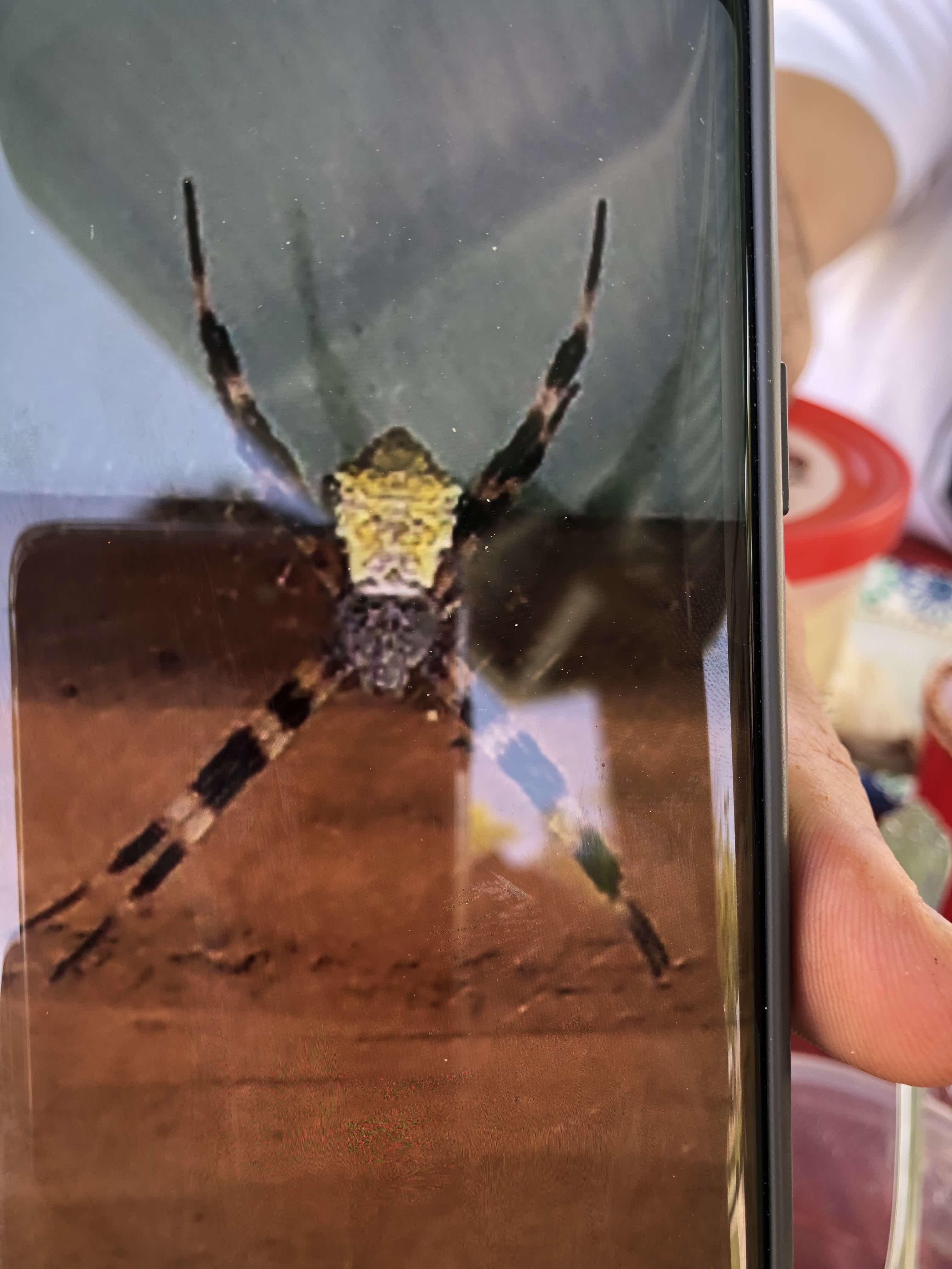 Picture of Argiope appensa (Hawaiian Garden Spider) - Female - Dorsal