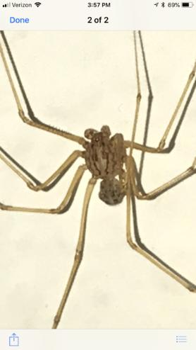Picture of Scytodes univittata - Dorsal