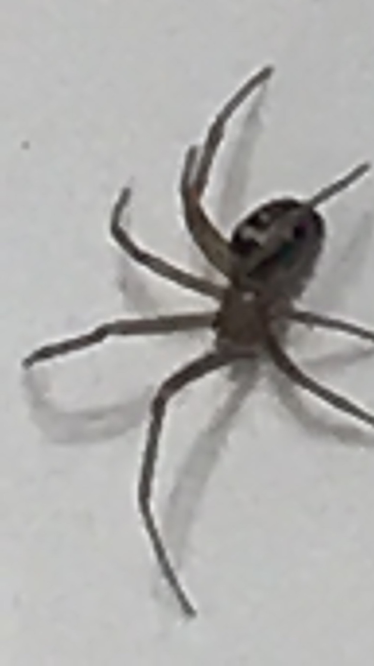 Picture of Steatoda grossa (False Black Widow) - Lateral