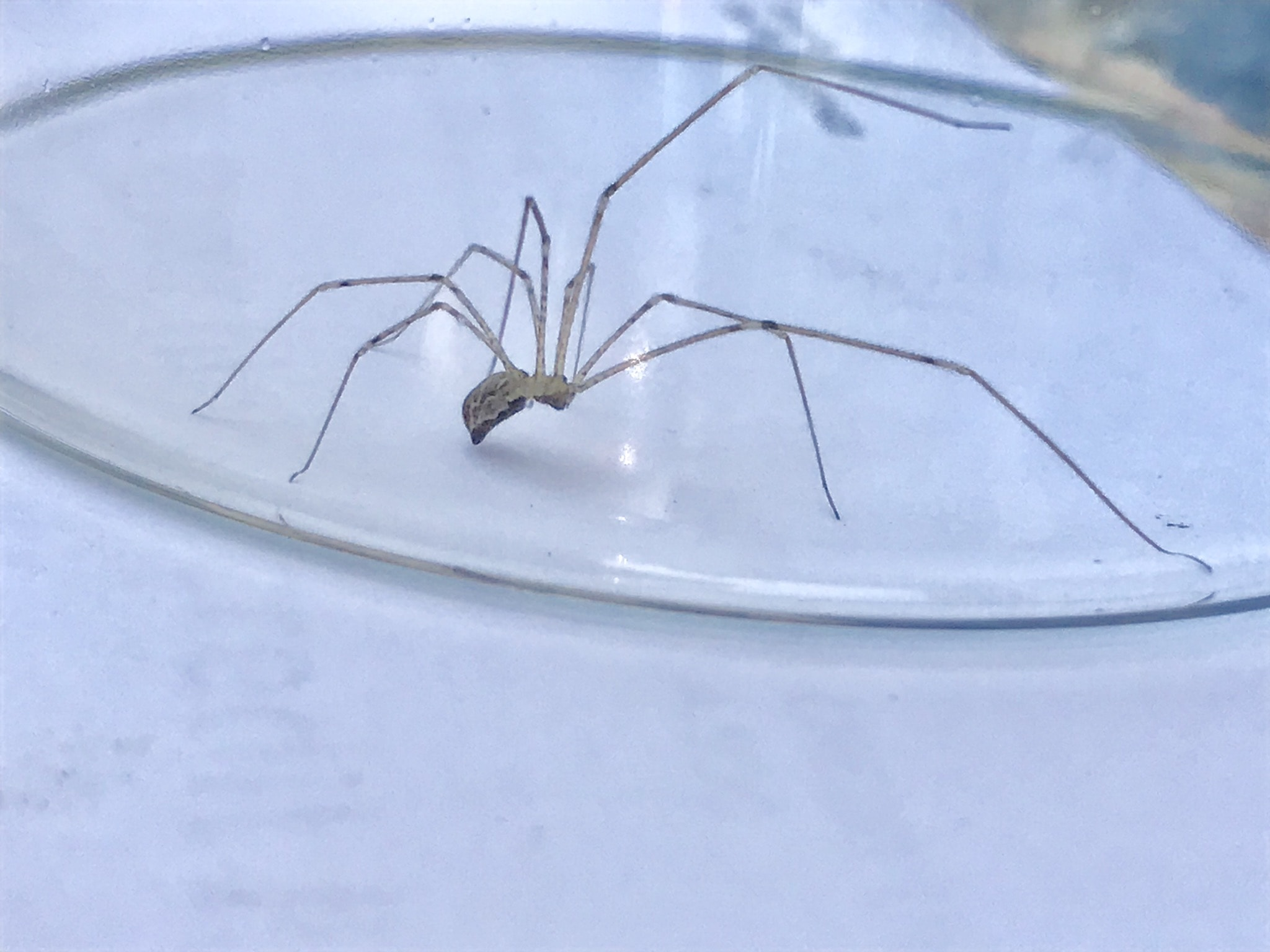 Picture of Holocnemus pluchei (Marbled Cellar Spider) - Lateral