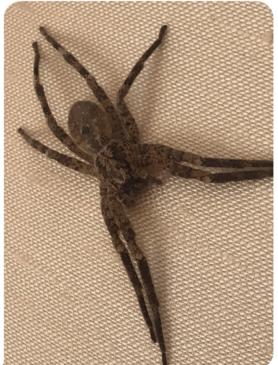 Picture of Zoropsis spp. - Dorsal