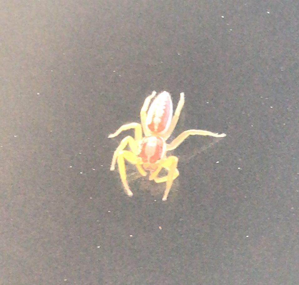 Picture of Epocilla (Orange Jumping Spiders) - Dorsal