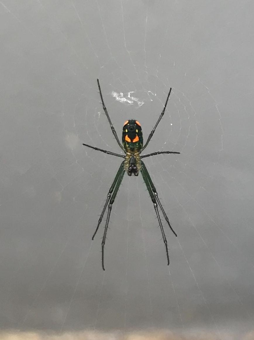 Picture of Leucauge argyrobapta (Mabel Orchard Orb-weaver) - Female - Ventral,Webs