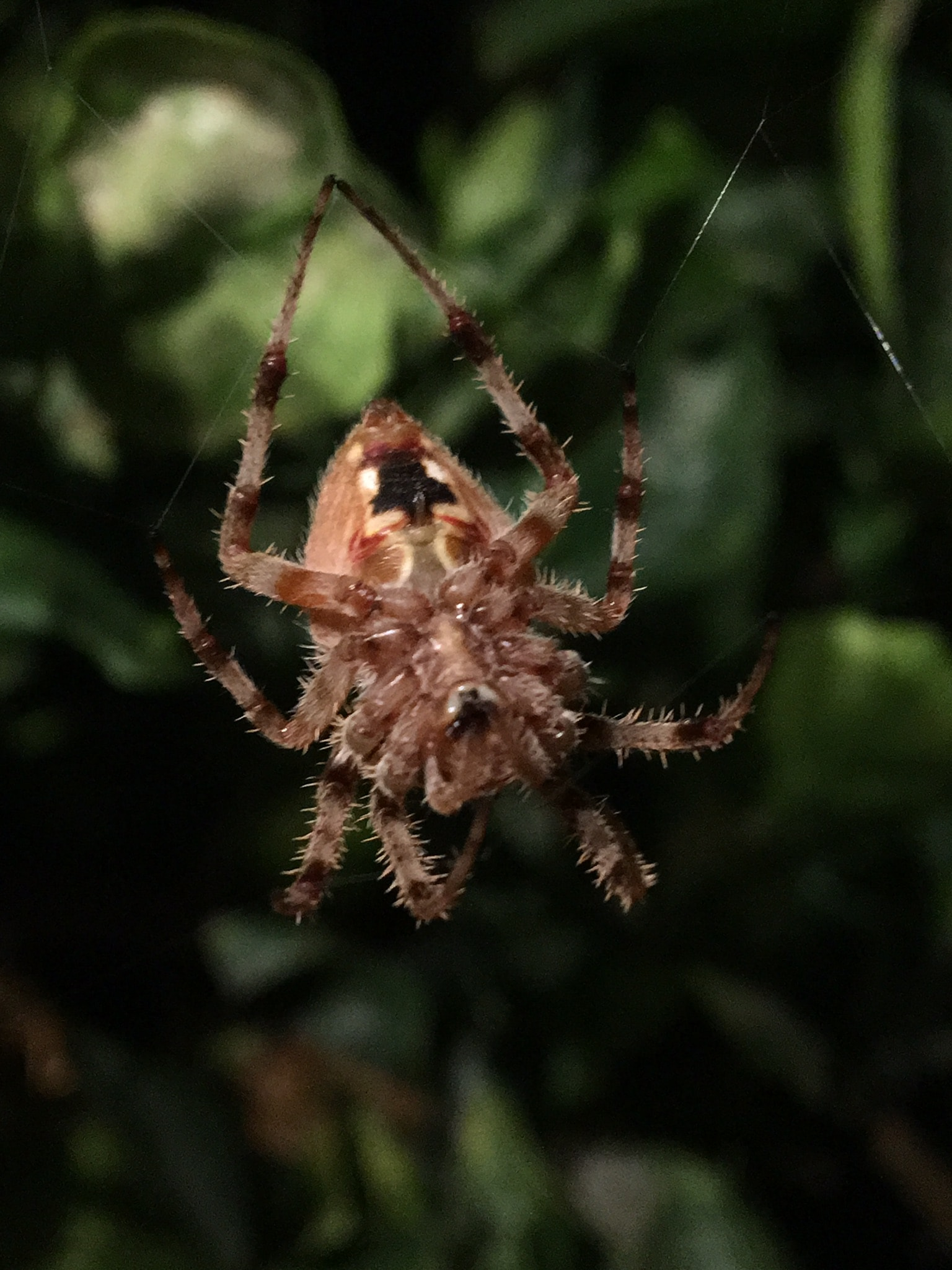 Picture of Neoscona (Spotted Orb-weavers) - Female - Ventral