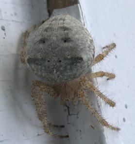 Picture of Araneus cavaticus (Barn Orb-weaver Spider) - Dorsal