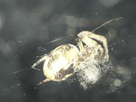 Picture of Larinioides cornutus (Furrow Orb-weaver) - Ventral